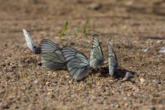Cabbage butterfly on sand. Group stock photos