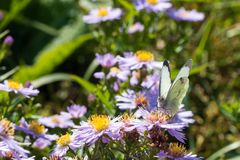 The cabbage butterfly sitting on a flower Stock Image