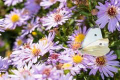 The cabbage butterfly sitting on a flower Stock Photos