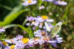 The cabbage butterfly sitting on a flower Royalty Free Stock Photography