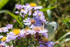 The cabbage butterfly sitting on a flower Royalty Free Stock Images