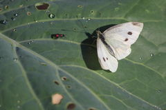Cabbage butterfly Royalty Free Stock Photo