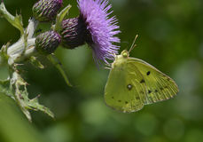 Cabbage butterfly. This cabbage butterfly is sucking nectar from the purple flower Stock Photo