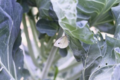 Cabbage Butterfly. Cabbage White Butterfly laying eggs on the leaves of a brussel sprout plant. Plant already has damage due to the moth`s caterpillar who eats Stock Photos