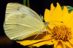 Cabbage Butterfly on Yellow Flower. A small Cabbage Butterfly, or Small White, on a yellow flower feeding Royalty Free Stock Photography