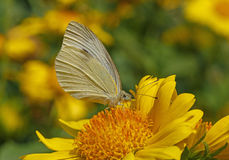 Cabbage butterfly on yellow flower Stock Photography