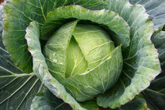 Cabbage close up Royalty Free Stock Photography