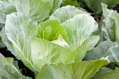 Cabbage close up. Cabbage on a bed close up in summer Royalty Free Stock Photo