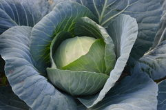 Cabbage closeup Stock Photo