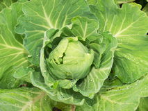 Cabbage closeup. Close top view on a head of fresh green cabbage covered by water drops Royalty Free Stock Photography