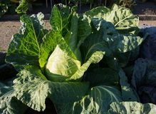 Cabbage closeup Royalty Free Stock Image