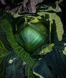 Cabbage closeup Stock Image