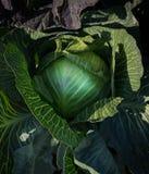 Cabbage closeup Stock Image
