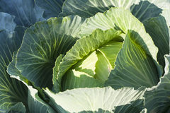 Cabbage closeup Royalty Free Stock Image