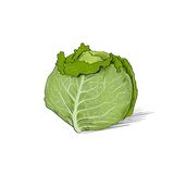 Cabbage color sketch draw isolated over white Stock Photo