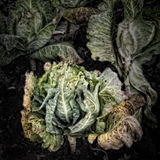 Cabbage on a Compost Heap Stock Images