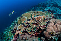 Cabbage Coral Patch Reef Stock Photos