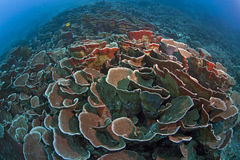 Cabbage coral reef Royalty Free Stock Photography