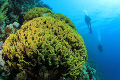 Cabbage Coral and Scuba Divers Royalty Free Stock Photos