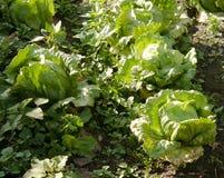 Garden Cabbage Crop Royalty Free Stock Photos