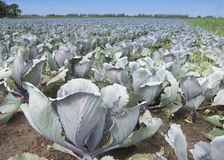 Cabbage crops at the field. Red cabbage at the field under a blue sky in summer Stock Photography