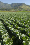 Cabbage crops Stock Photos