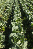 Cabbage crops Royalty Free Stock Photos