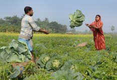 Cabbage Cultivation Stock Images
