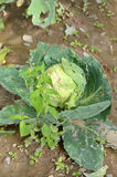Cabbage damaged by hailstorm Stock Photo