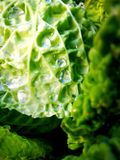 Cabbage with dew. Drops Stock Photography