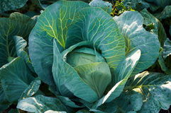 Cabbage with drops of cool morning dew Stock Images