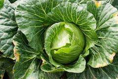 Cabbage farm Royalty Free Stock Photo
