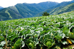 Cabbage farm Royalty Free Stock Photos