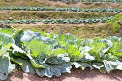 Cabbage Farm Royalty Free Stock Image