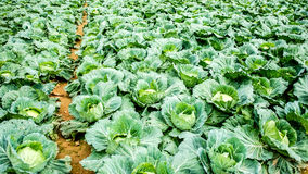 Cabbage farm Stock Photography