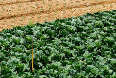 Cabbage farm after harvest Stock Image