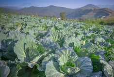 Cabbage farm. On the hill Royalty Free Stock Photography