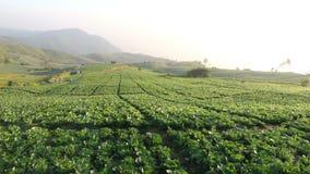 Cabbage farm stock video
