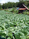 Cabbage farm and a hut Royalty Free Stock Images
