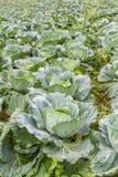 Cabbage farm on mountain. Stock Photos