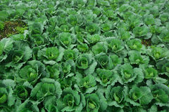 The cabbage farm_02. The organic farm that ahve many beautiful cabbage stock photo