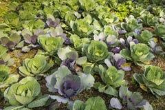 A ORGANIC CABBAGE FARM POKHARA NEPAL GREEN BACKGROUND royalty free stock image