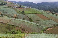 Cabbage farm at Phu Tub Berk Royalty Free Stock Photos