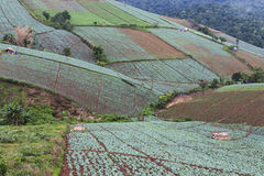 Cabbage farm at Phu Tub Berk Royalty Free Stock Photos