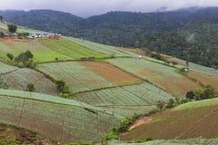 Cabbage farm at Phu Tub Berk Royalty Free Stock Image