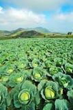 Cabbage farm ,thailand Royalty Free Stock Photos