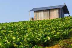 Cabbage farm under sunrise Stock Photography