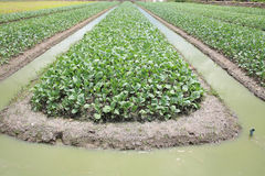 Cabbage farm with water on ditch Stock Image