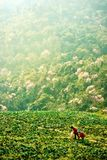 Cabbage farmers on a hill stock images