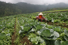 Cabbage. Farmers are performing maintenance on the cabbage plants Karanganyar, Central Java, Indonesia Royalty Free Stock Photography